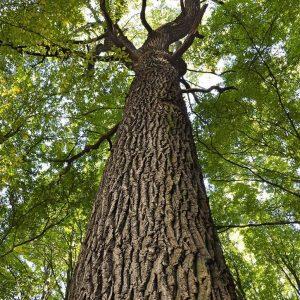 tree-canada_1